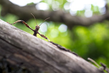 Giant Prickly Stick Insect On ...