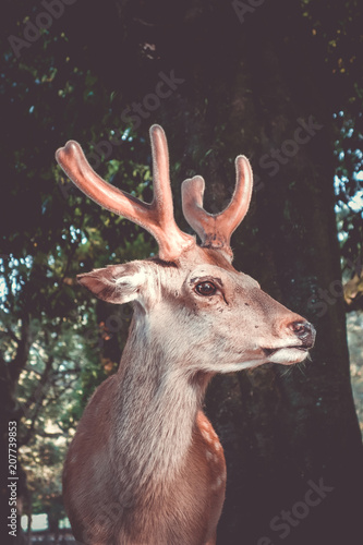 Fotobehang Asia land Sika deer in Nara Park forest, Japan