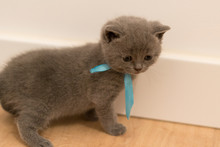 Gato British Shorthair Azul Be...