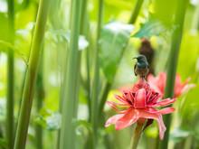 A Seychelles Sunbird (Cinnyris Dussumieri) Perching On A Red Torch Ginger Flower, With Green Background In Soft Focus.