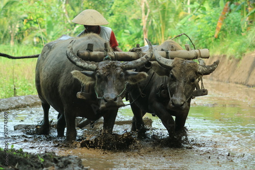 Poster Buffel Farmers plows rice fields. Indonesian culture traditional plowing with buffalo.