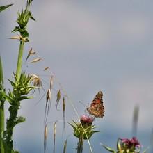 Farfalla Su Fiore Di Cardo