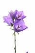 Campanula blue spring flowers