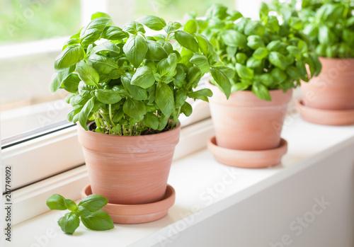 fresh basil herb in terracotta flowerpot Fototapeta
