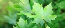 Macro Shot On Green Maple Leav...