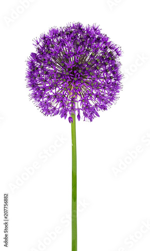 Photo Allium flower on a white background