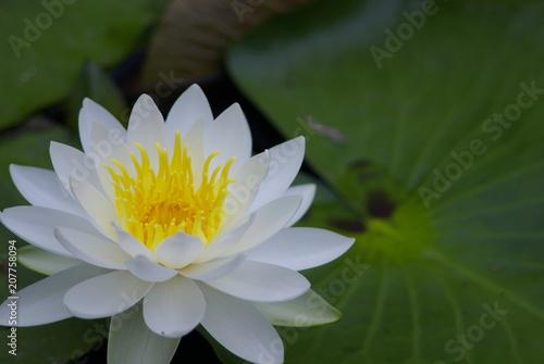 In de dag Waterlelies 睡蓮(water lily)