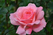 Beautiful Pink Rose In The Garden With Drops Of Rain And Leaves.
