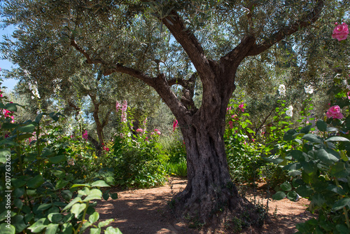 Fotografija Olive trees in Gethsemane garden, Jerusalem