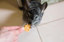 Cute Fluffy Grey Chinchilla Is...