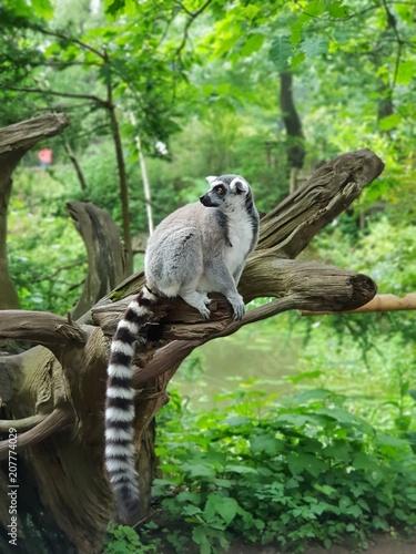 Lemuren Wallpaper Mural
