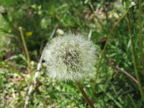 Photo  Dandelion weeds in a garden in the spring