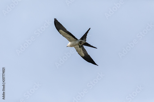 Photo  Flying swallow-tailed kite Elanoides forficatus with a Cuban knight anole in its
