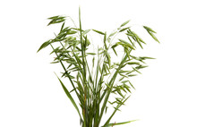 Green Oats Isolated