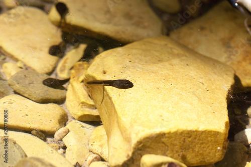Fotografia, Obraz  головастики маленькие чёрного цвета плавают в реке