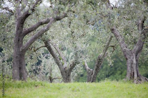 Fotobehang Olijfboom Olive tree
