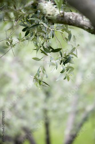 Foto op Plexiglas Olijfboom Olive tree