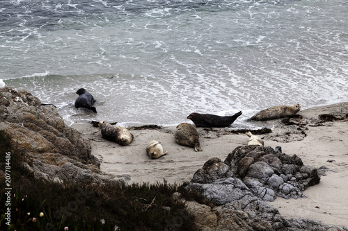 Photo  Seals Sunning On Sandy Beach Monterey California