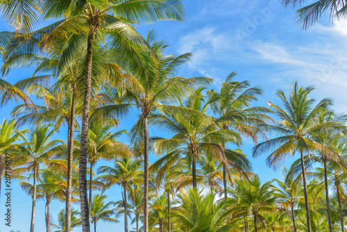Spectacular and impressive coconut palm trees in Itacare