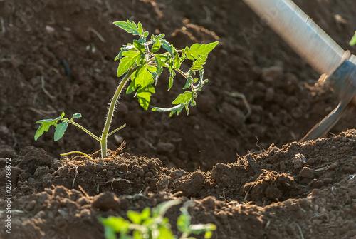 Fotografie, Obraz  Terreno con piante di frutti