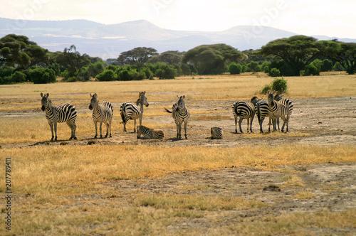 Staande foto Afrika Africa, Zoology, Zebra