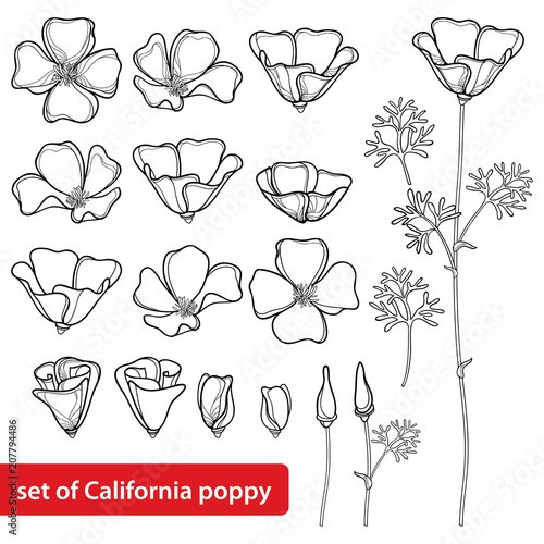 Vector set with outline California poppy flower or California sunlight or Eschscholzia, leaf, bud and flower in black isolated on white background. Contour poppy for summer design and coloring book. - 207794486