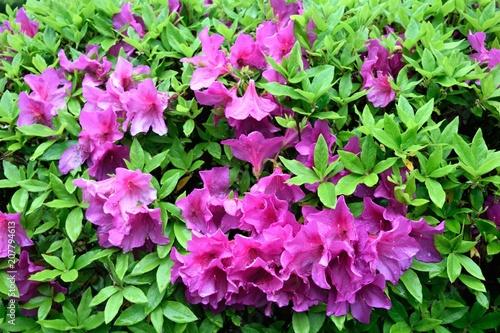 Deurstickers Azalea 赤紫のツツジ 花壇
