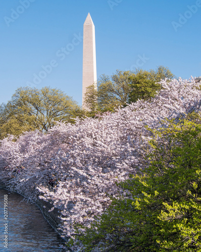Fotografie, Obraz  Washington monument during Cherry Blossom Festival in Washington DC, USA