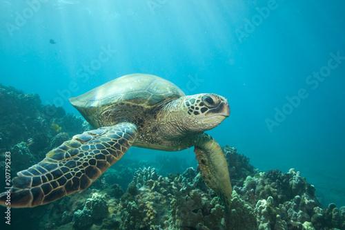 Foto op Aluminium Schildpad Sun rays lighting up a green sea turtle underwater
