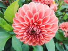 A Head Of Dahlia In The Garden...