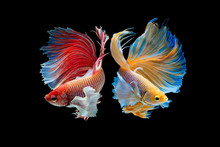 The Moving Moment Beautiful Of Yellow And Red Half Moon Siamese Betta Fish Or Dumbo Betta Splendens Fighting Fish In Thailand On Isolated Black Background. Thailand Called Pla-kad Or Big Ear Fish.