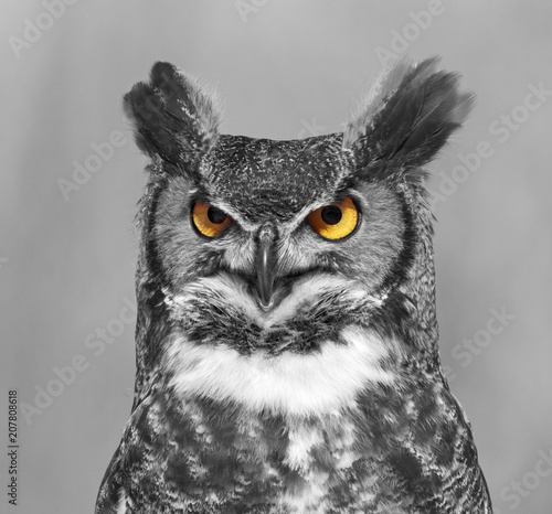 great-horned-owl portrait, black and white
