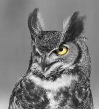 Great-horned-owl Portrait