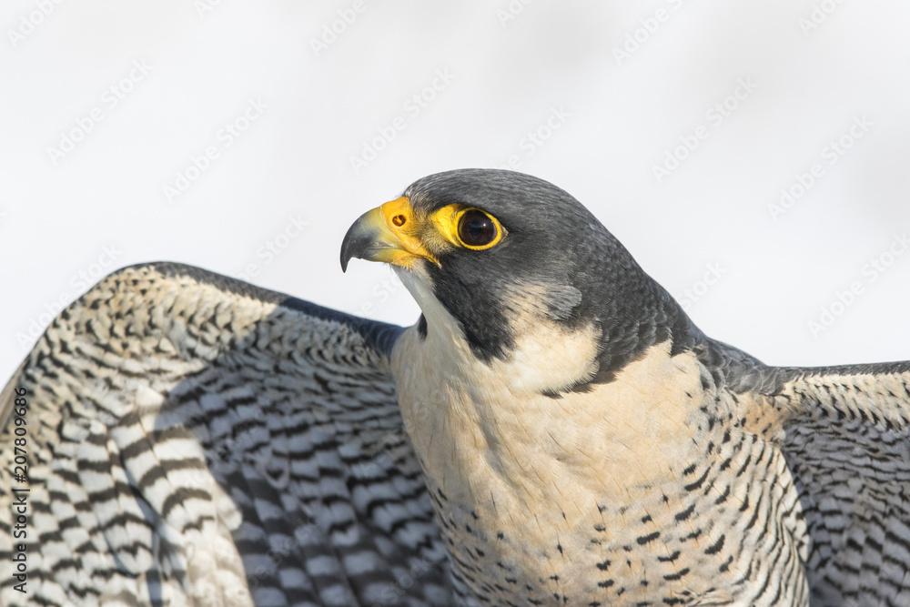 Fotografie, Obraz peregrine falcon portrait