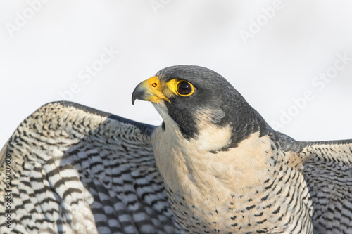 peregrine falcon portrait Wallpaper Mural