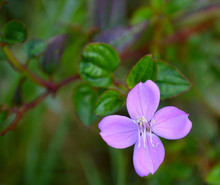 Pink Fringe Flower, Monteverde...