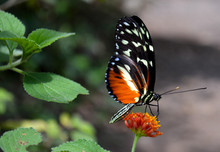 Tiger Longwing Butterfly On Or...