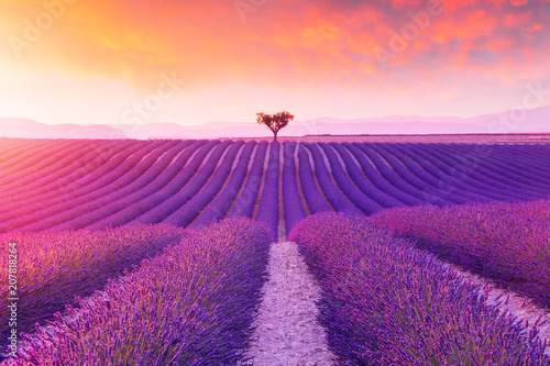 Prune Violet lavender bushes.Beautiful colors purple lavender fields near Valensole, Provence