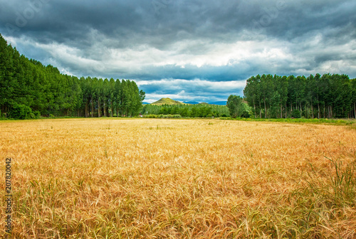 Foto op Aluminium Platteland Nice wheat field with pathway