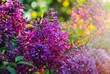 Flowering of purple lilacs