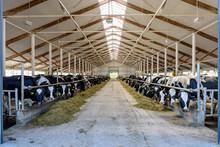 Milking Cows Eating In Modern ...