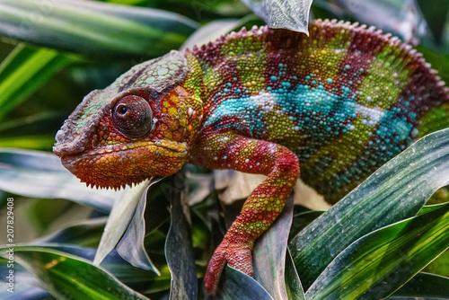 Photo sur Aluminium Cameleon Panther Chameleon, Furcifer pardalis