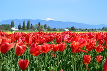 Tulip Festival In The Skagit V...