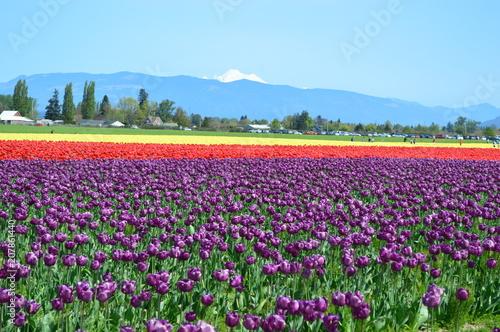 Spoed Fotobehang Roze The Skagit Valley Tulip Festival