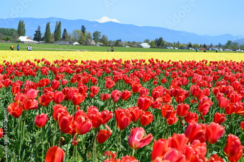 Foto op Canvas Rood traf. Tulips in the Skagit Valley