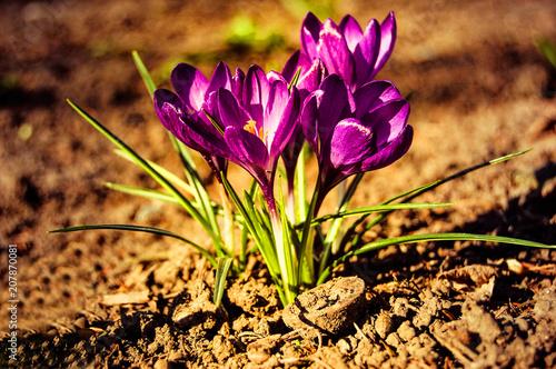 Spoed Foto op Canvas Krokussen Cousteau small purple crocus flowers closeup with brown earth