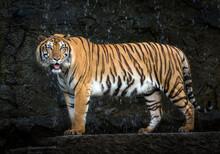 Young Sumatran Tiger Standing ...