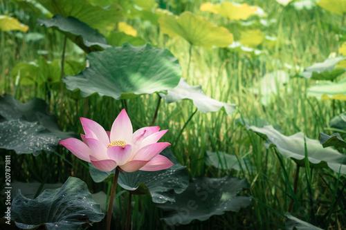 Deurstickers Lotusbloem Blooming of lotus flower with the background of green leaves in the pond