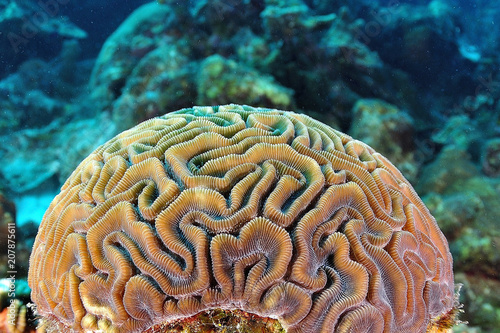 Poster Coral reefs Brain Coral