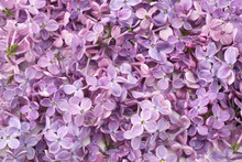 Lilac Flower Background. Lilac...